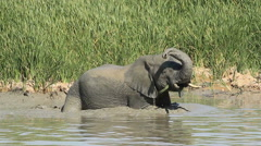 African elephant in mud - stock footage