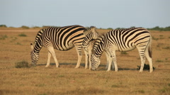 Plains Zebras grazing Stock Footage