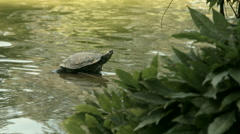 Koi Pond with Turle 04 Stock Footage