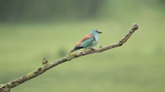 European roller perched on a branch near to the nest. Stock Footage
