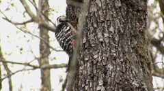 White-backed woodpecker eating insects perched on the forest tree Stock Footage