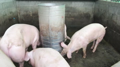 Feeding tool and piglets in pig industrial, Asian Stock Footage