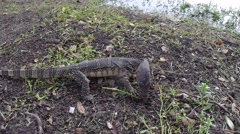 Clouded monitor lizard digs and finds a small insect, Lumphini park, Bangkok Stock Footage