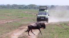 WILDEBEEST AFRICA WILDLIFE SAFARI SERENGETI HERD MIGRATION, car on the road - stock footage