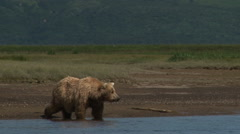 Grizzly Bear (Ursus arctos horribilis) drinking water Stock Footage