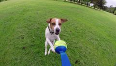 Jack Russell Terrier jumping for ball Stock Footage