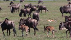 WILDEBEEST AFRICA WILDLIFE SAFARI SERENGETI HERD MIGRATION Stock Footage
