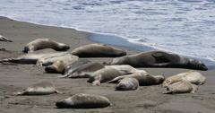 4K Elephant Seals 01 San Piedras Blancas rookery Simeon California Stock Footage