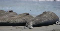 4K Elephant Seals 03 San Piedras Blancas rookery Simeon California Stock Footage