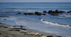 4K Elephant Seals 07 San Piedras Blancas rookery Simeon California Stock Footage