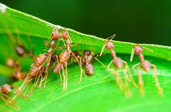 weaver ants or green ants (oecophylla smaragdina) - stock photo