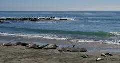 4K Elephant Seals 09 San Piedras Blancas rookery Simeon California Stock Footage