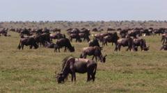 WILDEBEEST AFRICA WILDLIFE SAFARI SERENGETI HERD MIGRATION Stock Footage