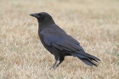 Common raven (corvus corax) Kuvituskuvat
