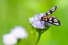 wasp moth or eressa angustipenna - stock photo