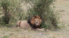 Lion resting after the hunt. Stock Footage