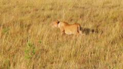 Lioness stalking prey. Stock Footage