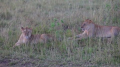 Two lionesses sitting in the grass. Evening. Stock Footage