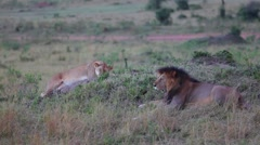 Lion and Lioness on a hill. Masai Mara. Evening. - stock footage