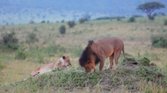 Lion and Lioness on a hill.  Evening. - stock footage