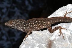 brown anole lizard (anolis sagrei) - stock photo