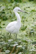 juvenile little blue heron (egretta caerulea) - stock photo
