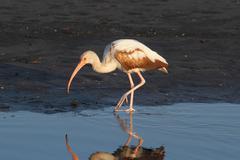 Juvenile white ibis (eudocimus albus) Stock Photos