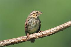 juvenile chipping sparrow (spizella passerina) - stock photo