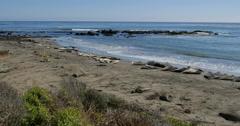 4K Elephant Seals 11 San Piedras Blancas rookery Simeon California Stock Footage