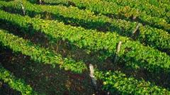 Vineyard rows aerial Stock Footage