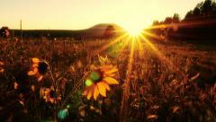 4K Sun-kissed Sunflowers Pan Stock Footage
