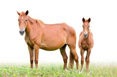 Stock Photo of brown mare and foal on white background