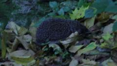 Hedgehog in grass Stock Footage