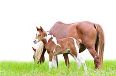 mare and foal with brown white - stock photo