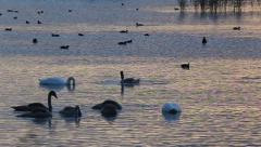 Waterfowl feeding in the early morning on the lake. Stock Footage