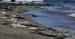 4K Elephant Seals 14 San Piedras Blancas rookery Simeon California Stock Footage