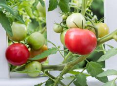 Homegrown tomatoes on white fence Stock Photos