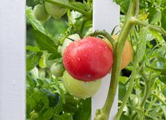 homegrown tomatoes on white fence with rain drops on them - stock photo