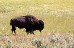 north american bison- buffalo in field - stock photo