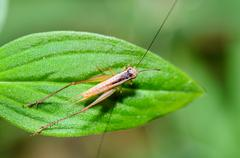 brown cricket (insect) - stock photo
