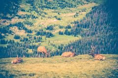 Elks meadow. adult elks gang resting on the colorado meadow. united states. Stock Photos