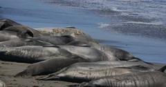 4K Elephant Seals 15 San Piedras Blancas rookery Simeon California Stock Footage