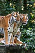 Bengal tiger panthera tigris tigris in captivity Stock Photos