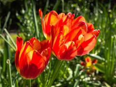 Orange tulips in bright sunlight Stock Photos