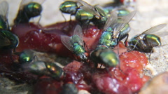 Green bottle flies feeding on some rotten meat close-up Stock Footage