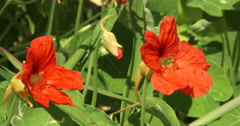 Nasturtium with orange flowers Stock Footage