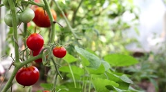 Red tomato in hothouse Stock Footage