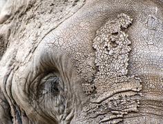 Close up facial portrait of african elephant loxodonta africana Stock Photos