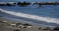 4K Elephant Seals 17 San Piedras Blancas rookery Simeon California Stock Footage