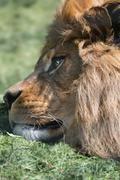 Unusual facial portrait of sleeping barbary african atlas lion Stock Photos